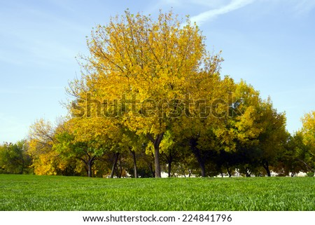 Lonely beautiful autumn tree. Autumn Landscape.  yellow tree and green grass landscape at park - stock photo
