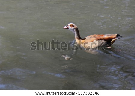 Lonely bird on an African swamp  - Egyptian Goose (Alopochen aegyptiacus)