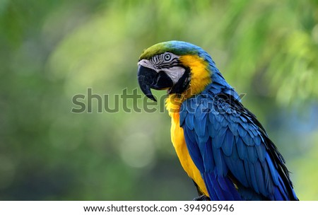 Lonely Blue-and-yellow macaws (Ara ararauna) the beautiful blue parrot bird sitting on blur green background - stock photo