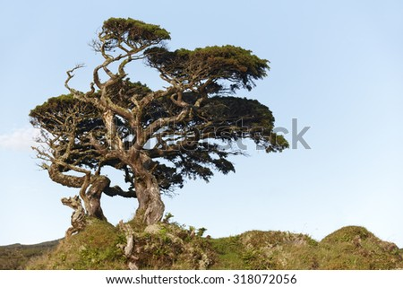 Lonely cedrus tree in a Pico island meadow. Azores. Portugal. Horizontal
