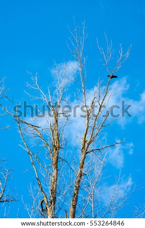 lonely crow on winter tree without leaves against a blue sky with white clouds