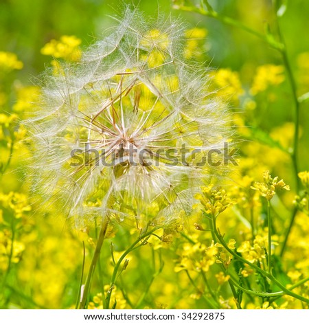 Lonely dandelion on the field - stock photo
