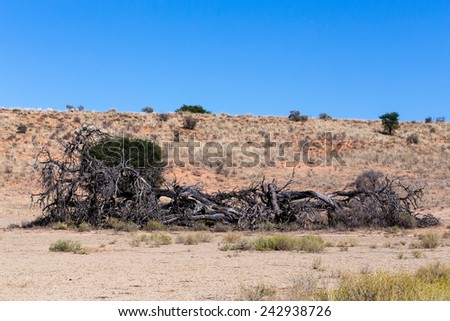 Lonely dead tree in an arid landscape, Kgalagadi Transfrontier Park, South Africa, true wildlife - stock photo