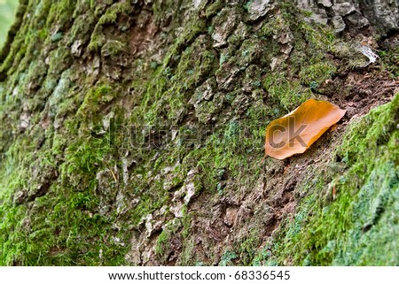 lonely dry leaf on the bark of oak - stock photo