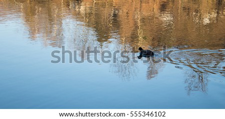 Lonely Duck Swimming in a River in Italy Alone Far Away