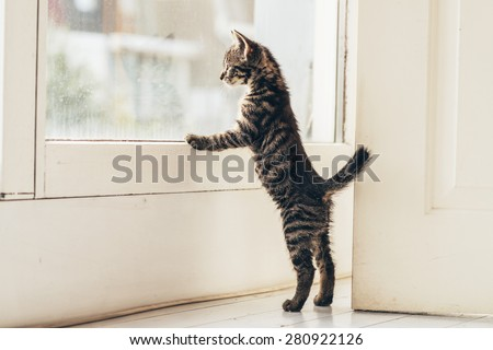 Lonely Gray Tabby Kitten Leaning Against the Glass Window at the House While Looking Outside with Tail Up. - stock photo