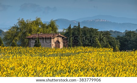 Lonely House in Field of Sunflowers in Tuscany Landscape, Italy - stock photo