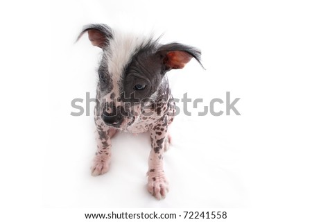 Lonely insecure Hairless Mexican Dog - stock photo