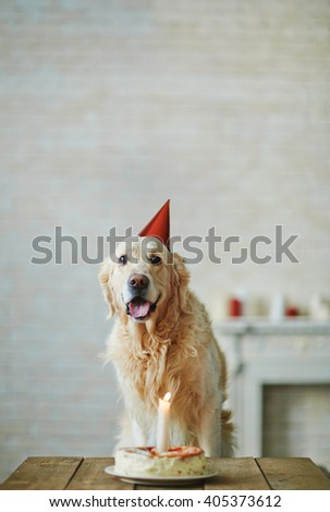 Lonely Labrador sitting at birthday cake - stock photo
