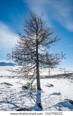 Lonely larch tree and blue sky on a winter hills