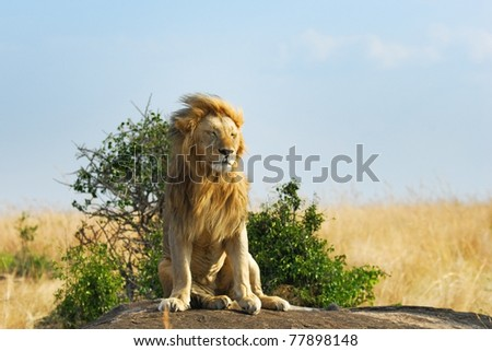 Lonely lion relaxes on the rock, Masai Mara, Kenya - stock photo