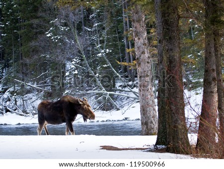 Lonely Moose - stock photo