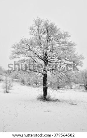 Lonely oak in the snowy field in winter - stock photo