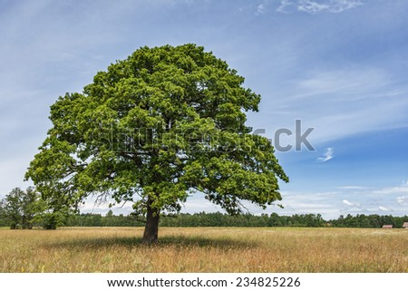 Lonely oak tree on the meadow - stock photo