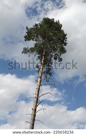 Lonely old tree against the sky. - stock photo