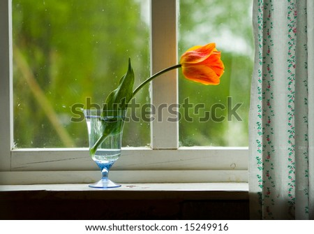 Lonely orange tulip on a window sill
