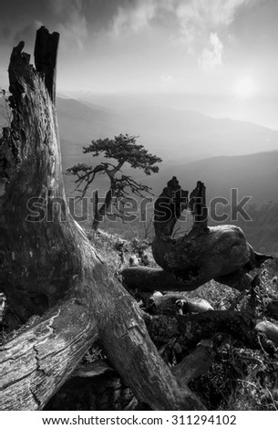 Lonely pine tree in a Crimea mountains among old dead trees. New life. Black and white - stock photo