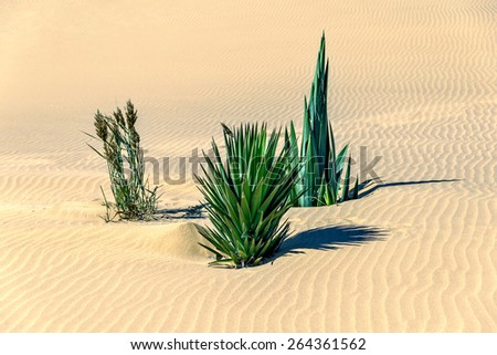 Lonely plants on the slope of the Dune #7 in Sossusvlei plato of Namib Naukluft National Park - Namibia, South Africa - stock photo