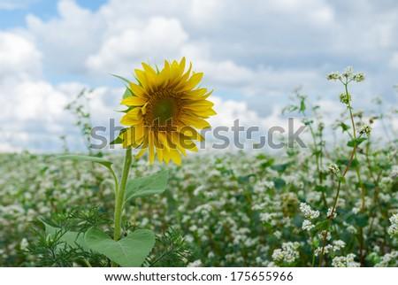 Lonely sunflower on buckwheat field. - stock photo