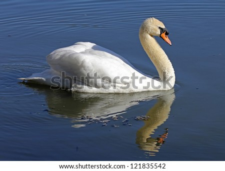 Lonely swan on lake water surface. - stock photo
