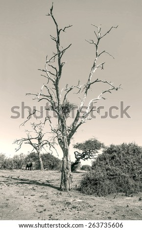 Lonely tree and a lone elephant in Chobe National Park - Botswana, South-West Africa (black and white) - stock photo