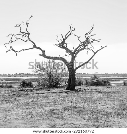 Lonely tree - Botswana, South-West Africa (black and white) - stock photo