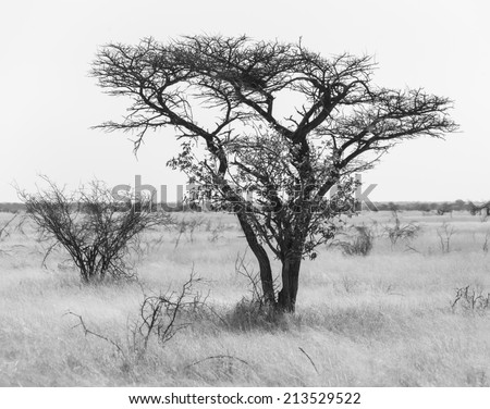Lonely tree in Etosha National Park - Namibia, South-West Africa (black and white)
