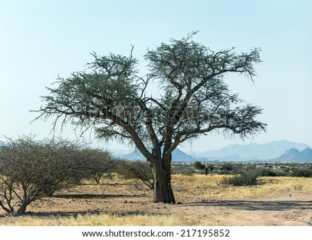 Lonely tree in Namib desert - Namibia, South-West Africa