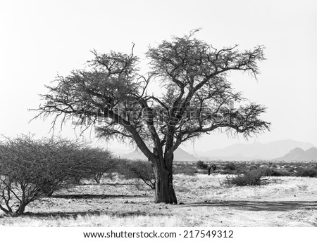 Lonely tree in Namib desert - Namibia, South-West Africa (black and white) - stock photo
