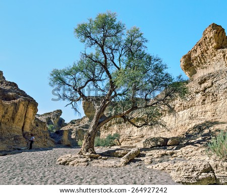 Lonely tree in Sestriem canyon, Namib desert, Namibia, South-West Africa - stock photo