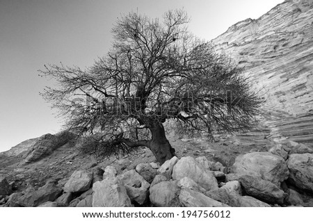 Lonely tree in the mountains of National Park En Avedat, Israel. B&W - stock photo