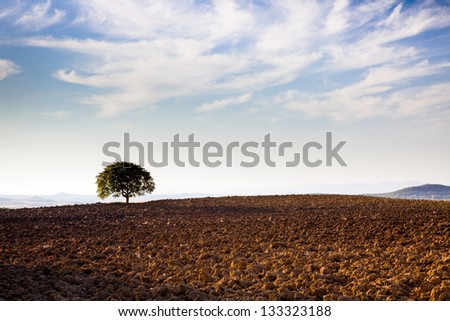 Lonely tree in tuscan country, Pienza, Tuscany, Italy