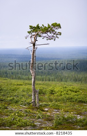 Lonely tree top of the hill on north of Finland - stock photo