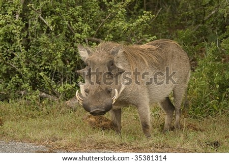 Lonely warthog in the Addo National Park