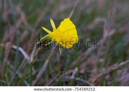 Lonely yellow flower bellshaped hoop petticoat stock photo royalty lonely yellow flower bell shaped hoop petticoat daffodil narcissus bulbocodium showing the stamens mightylinksfo