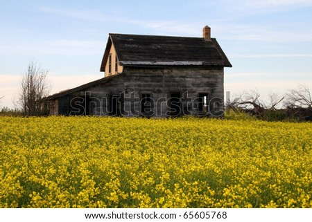 long abandoned derelict dilapidated farm house rests in middle of yellow blossoms of canola, an edible oil seed crop, along the trans-Canada highway in Saskatchewan - stock photo