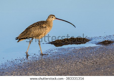 Long-billed curlew (Numenius americanus) at the ocean coast, Galveston, Texas, USA. - stock photo