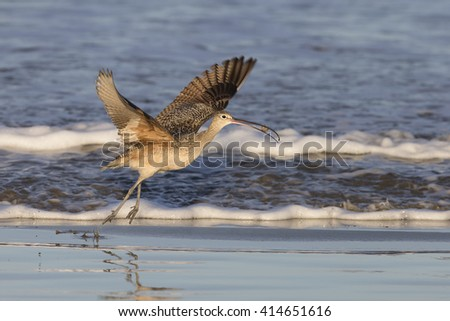 Long-billed Curlew on beach at Morro Bay - stock photo