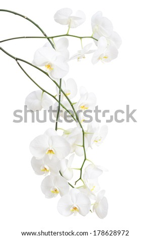 Long branches of beautiful white orchid flowers isolated on white - stock photo