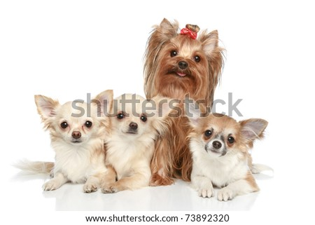 Long coat chihuahua and Yorkshire terrier on a white background