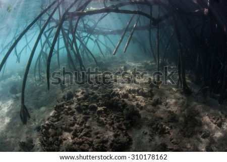 Long, curved prop roots reach down into the water from mangrove trees. Mangroves play important ecological roles, acting as nurseries and filtering sediments running off of coastlines. - stock photo