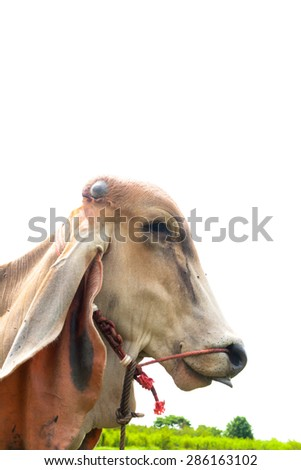long ear cow in the field, cow show tongue