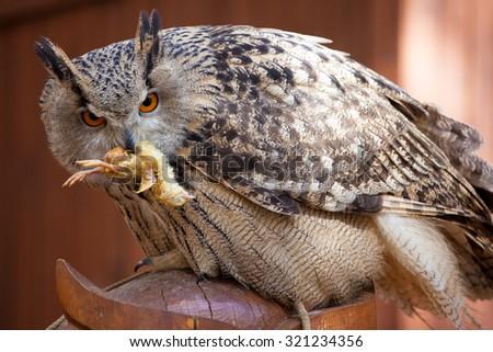 Long ear owl feeding - stock photo