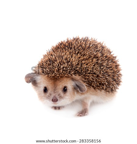 Long-eared hedgehog on white - stock photo