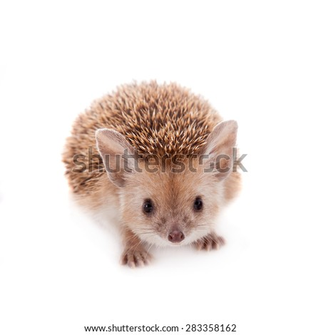 Long-eared hedgehog on white - stock photo