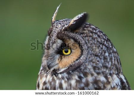 Long eared owl - stock photo
