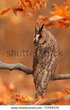 Long-eared Owl - stock photo
