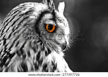 long-eared owl [Asio otus] - stock photo