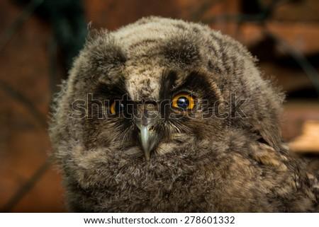 Long-eared owl (Asio otus) baby - stock photo