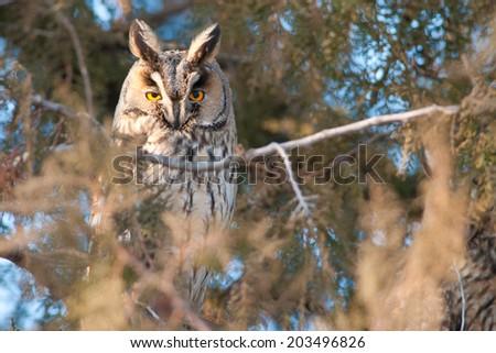Long Eared Owl (Asio otus) on fir tree - stock photo